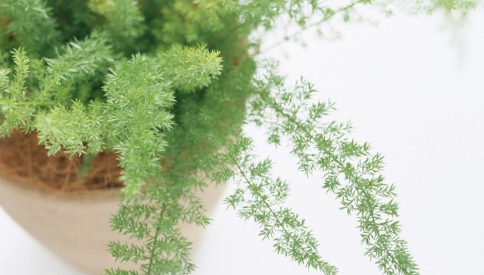 House Interior Plants - Ferns